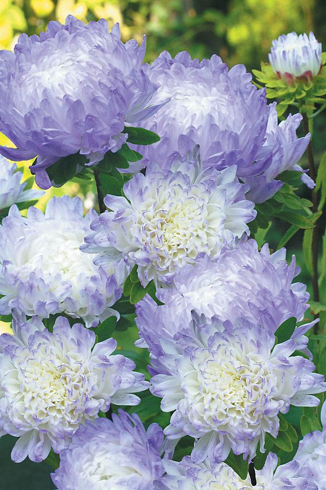 Aster Duchess Blue Ice Seeds