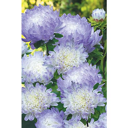Reine marguerite duchess blue ice