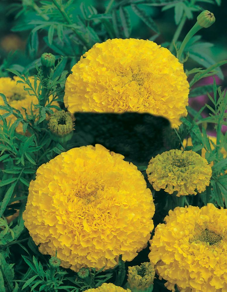 Marigold African Sunspot Yellow