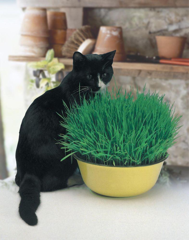Catgrass (Avina Sativa)