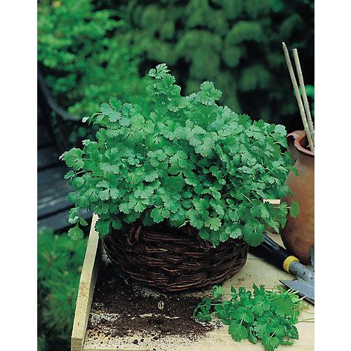 Coriande cilantro