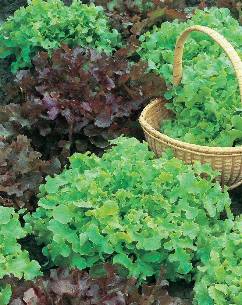 Lettuce Salad Bowl Red & Green