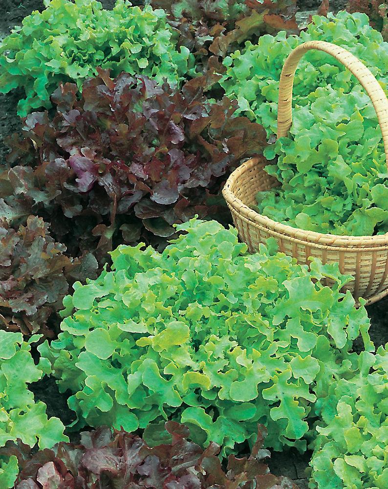 Lettuce Salad Bowl Red & Green Seeds