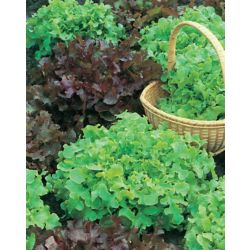 Mr. Fothergill's Seeds Lettuce Salad Bowl Red & Green Seeds