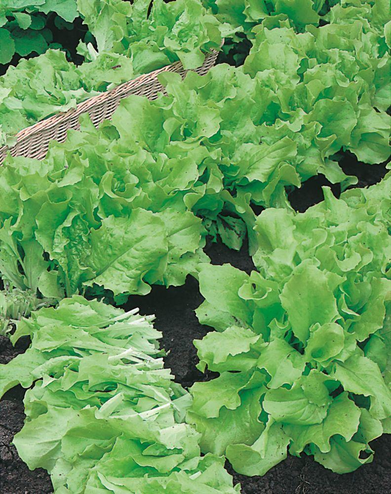 Lettuce Grand Rapids 3003 in Canada