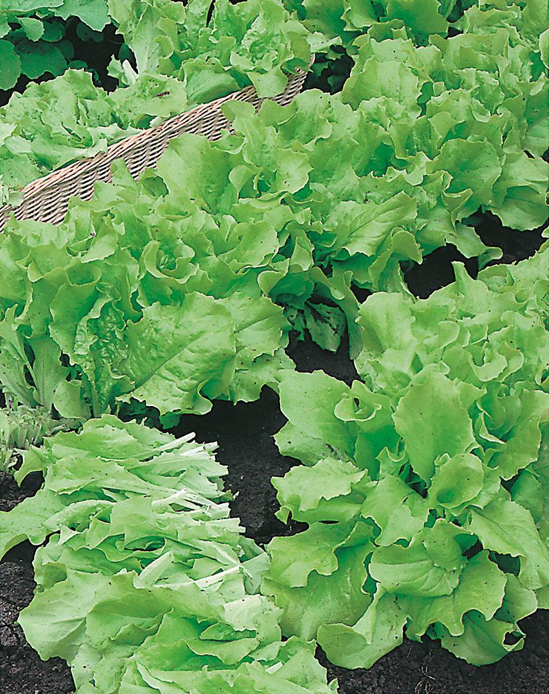 Lettuce Grand Rapids Seed Tape