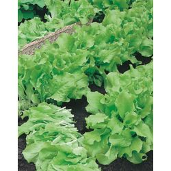 Mr. Fothergill's Seeds Lettuce Grand Rapids Seed Tape