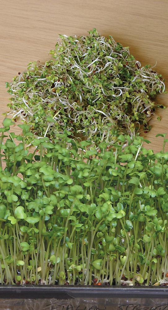 Mustard Oriental Seeds