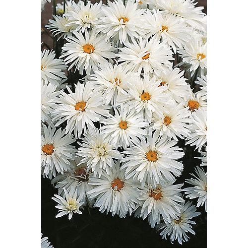 Chrysanthème crazy daisy