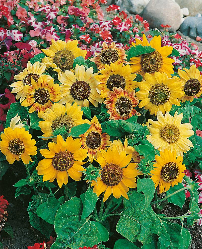 Sunflower Music Box Seeds