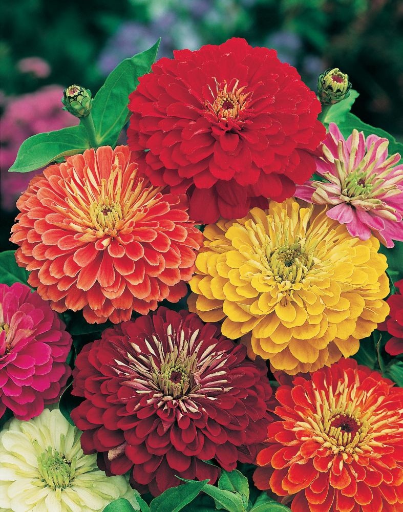 Zinnia giant double mixed