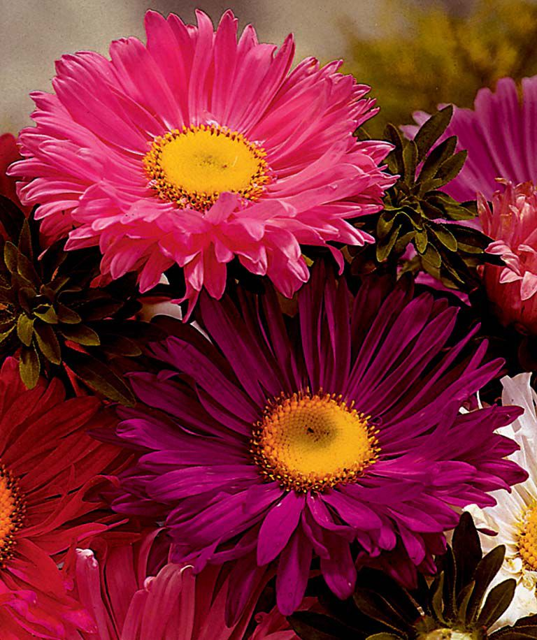 Aster Super Chinensis