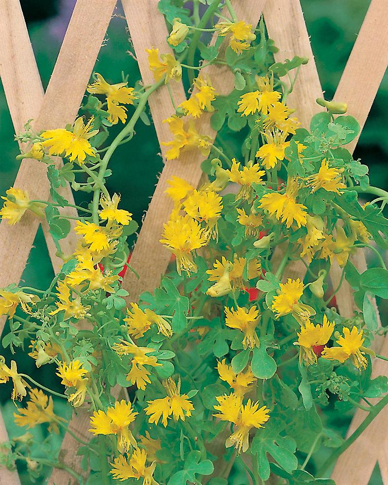 Canary Creeper Seeds