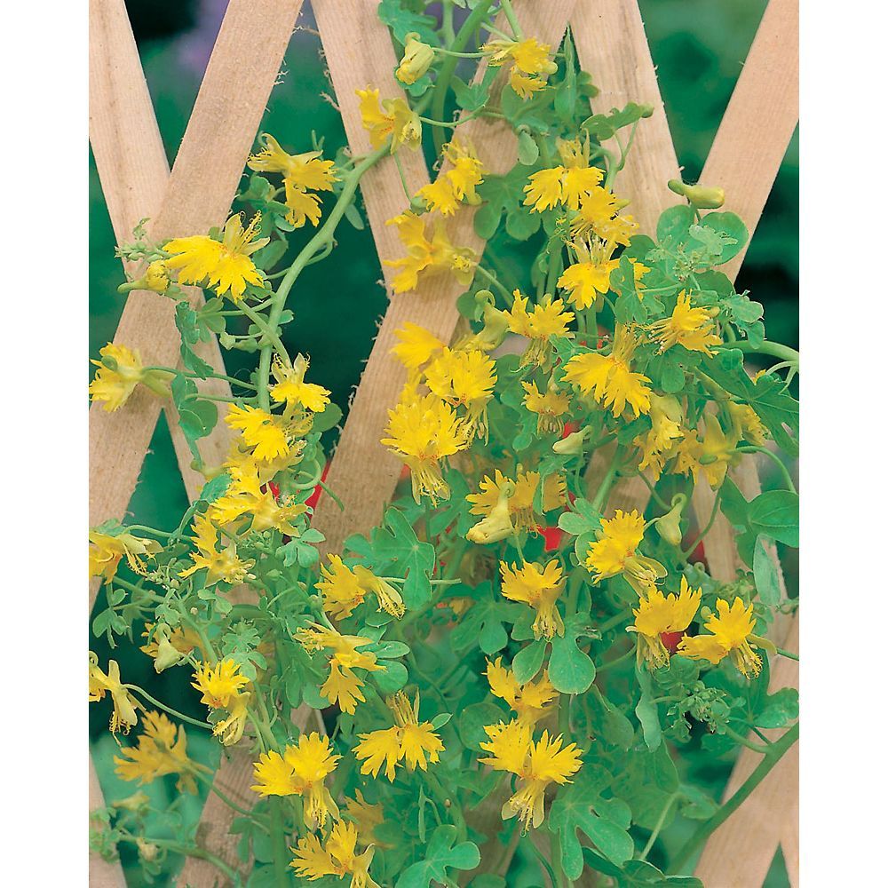 Mr. Fothergill's Seeds Canary Creeper Seeds
