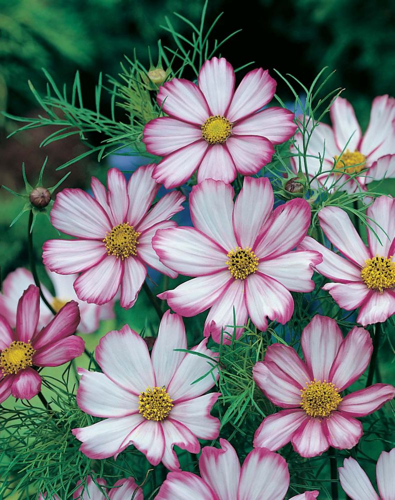 Cosmos Picotee 1805 in Canada