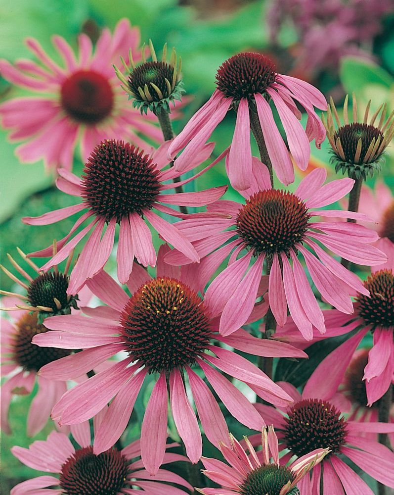 Echinacea Purple Coneflower 905 Canada Discount
