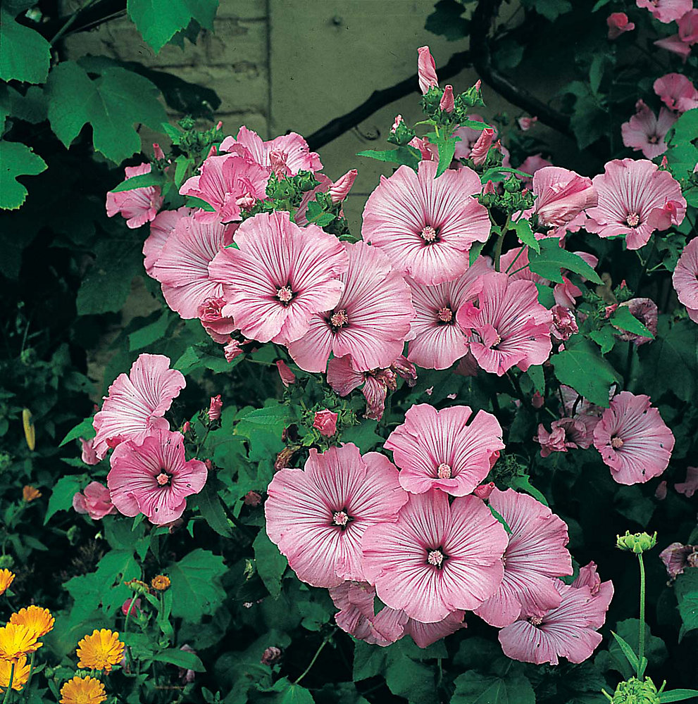 Lavatera Silver Cup Seeds