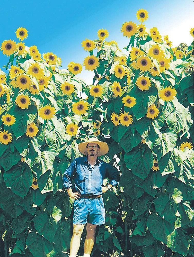 Sunflower Kong Seeds