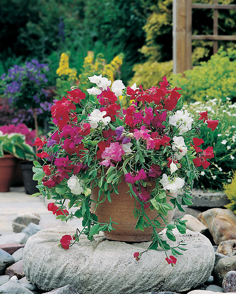 Sweet Pea Patio Mixed Seeds