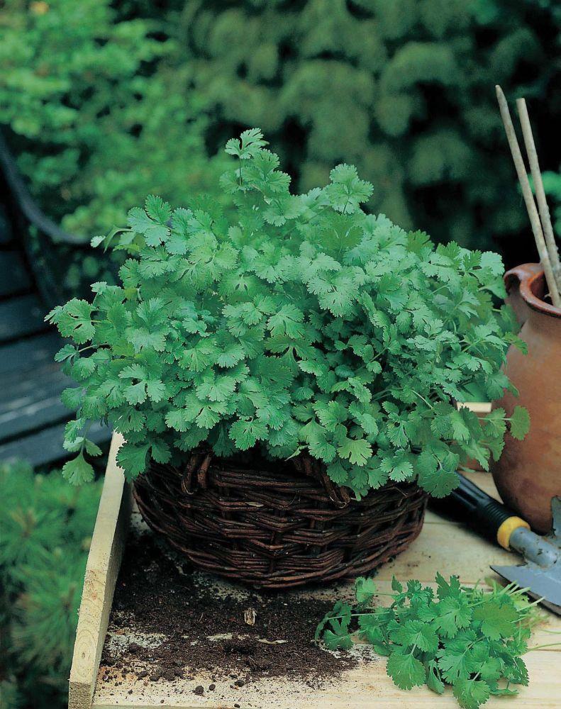 Coriander Cilantro For Leaf (8cm Mat) 20861 in Canada