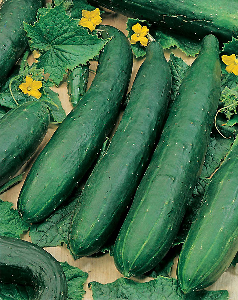 Cucumber Burpless F2 Seeds