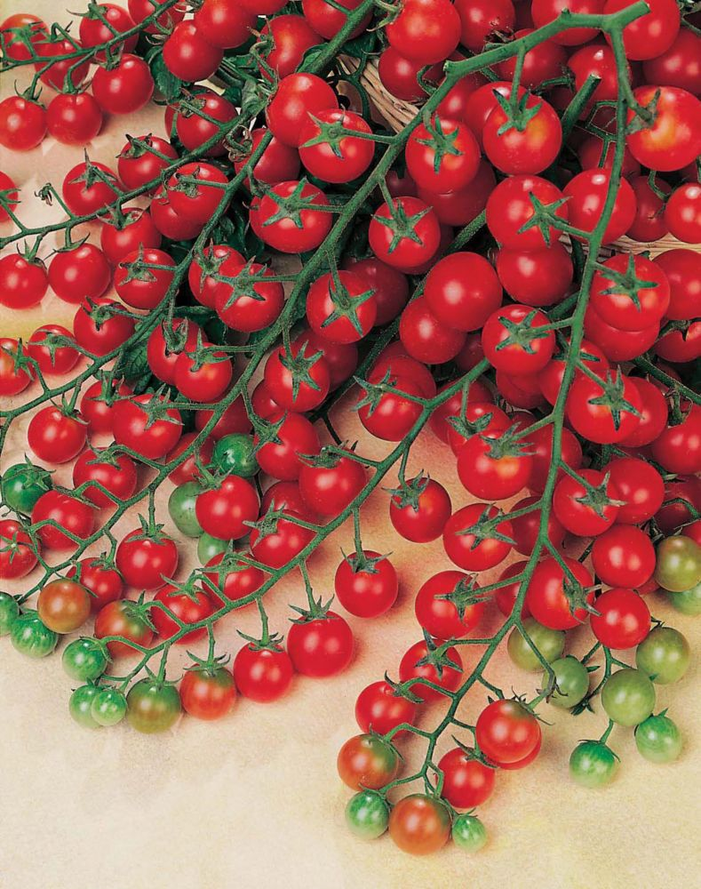 Tomate sweet million f1