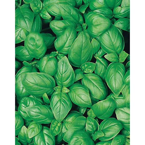 Basilic sweet - organic