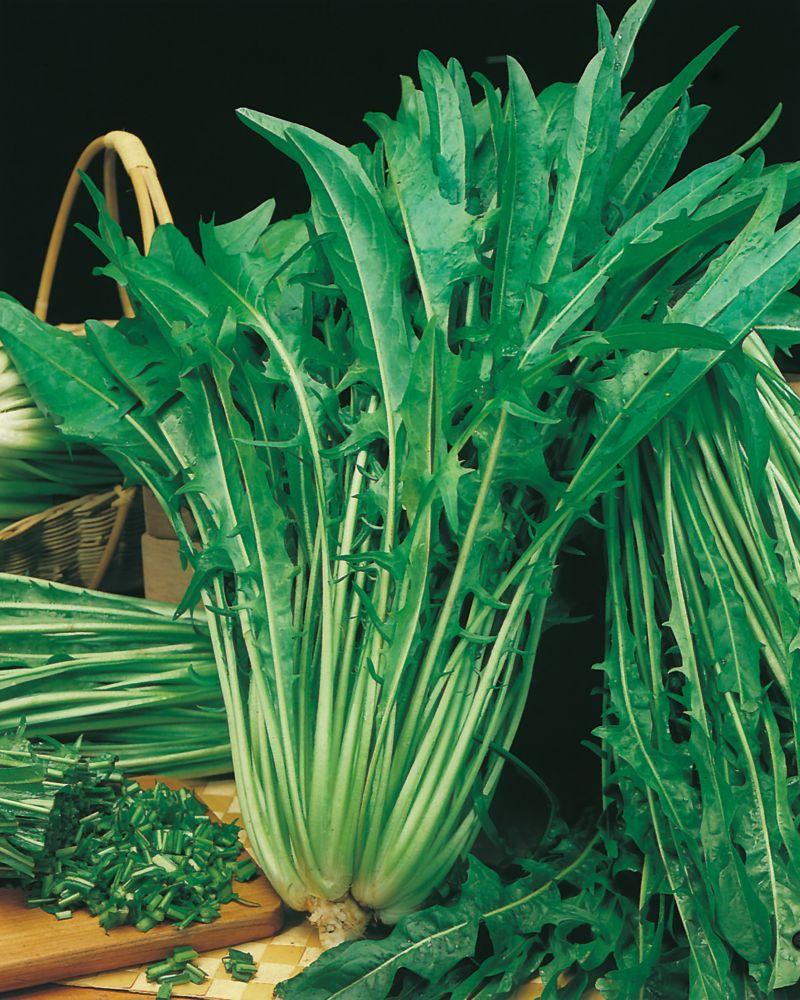 Chicory Catalogna Asparago 725 Canada Discount