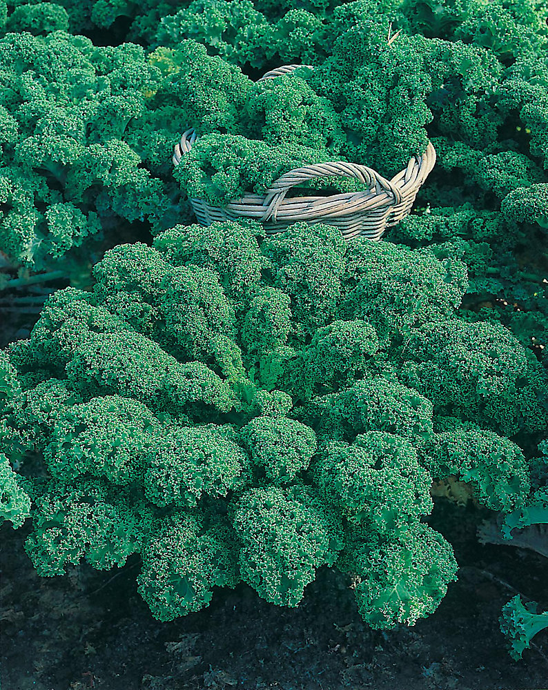 Kale Dwarf Green Curled Seeds