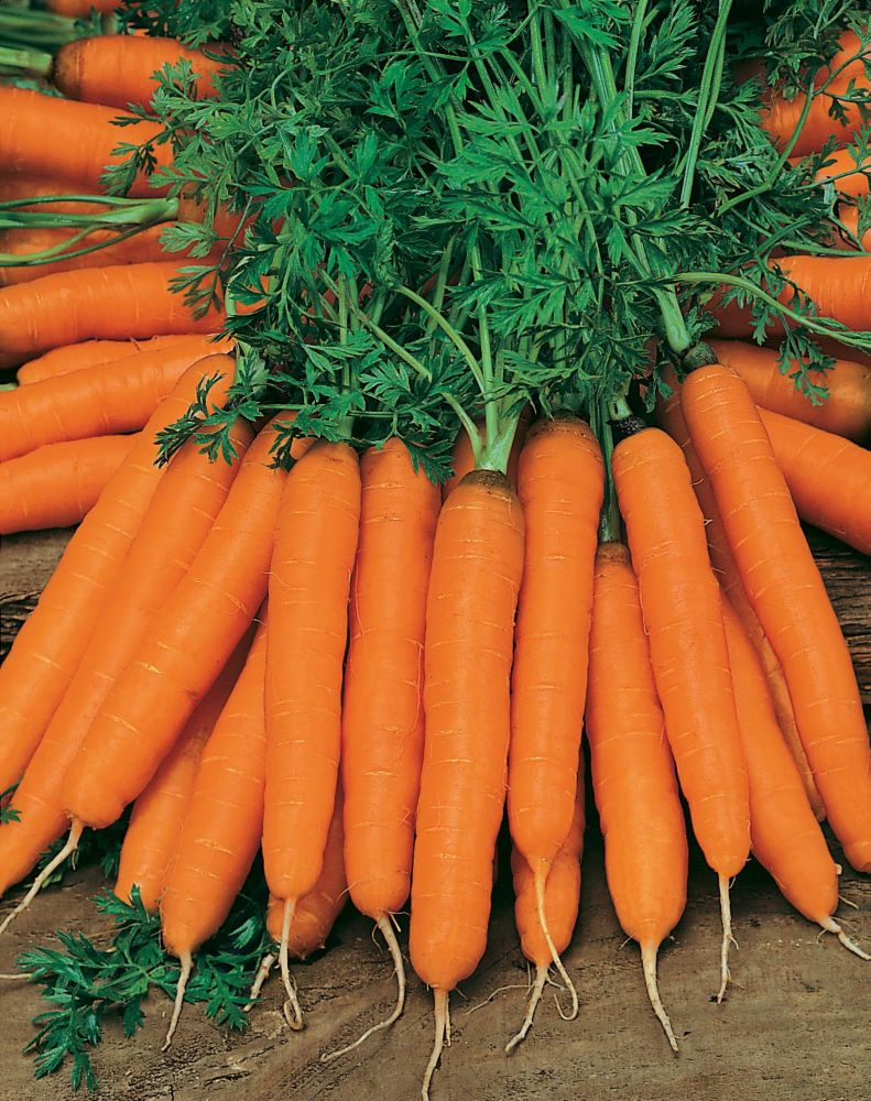 Carrot Amsterdam Forcing 2 - Amice 20886 Canada Discount