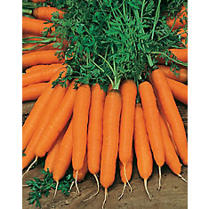 Carrot Amsterdam Forcing 2 - Amice Seeds