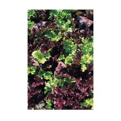 Johnsons Seeds Lettuce Red & Green Salad Bowl Mixed Seeds