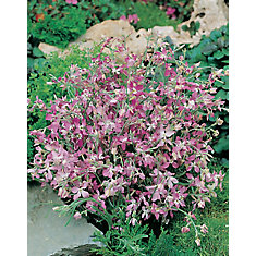 Night Scented Stock (Matthiola) Seeds