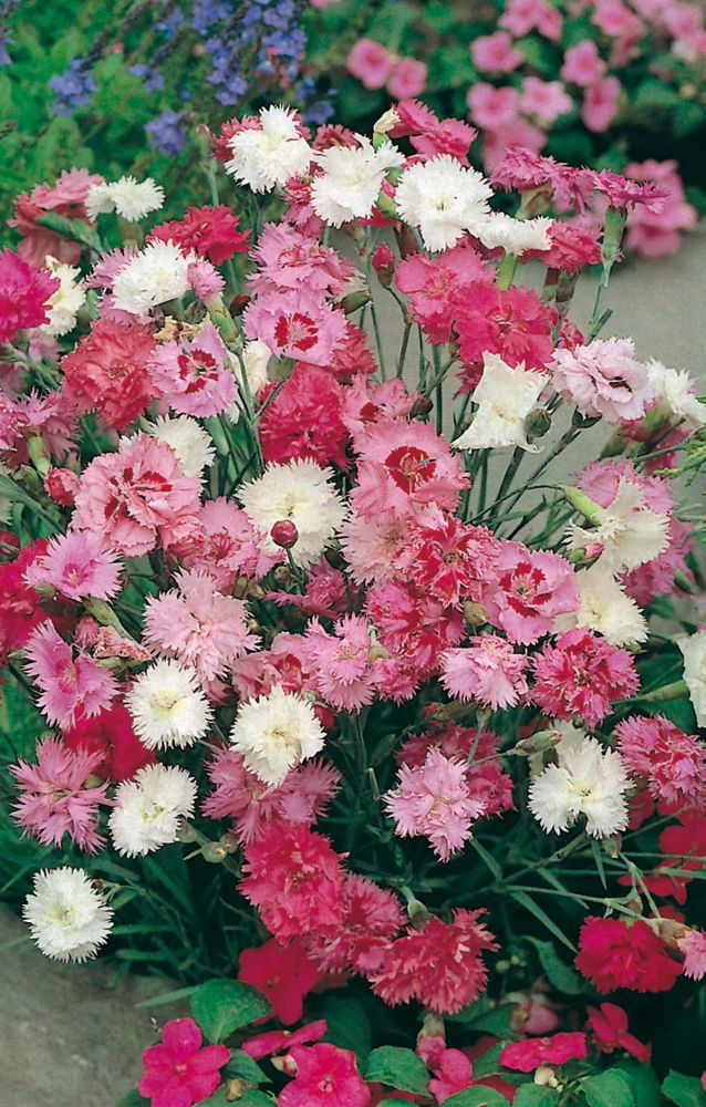 Old-Fashioned Pinks - Dianthus - Select Seeds 83