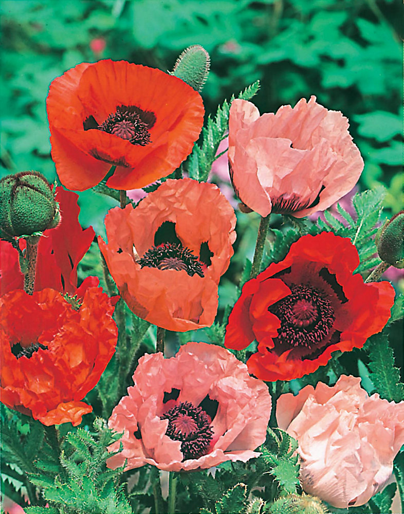 Poppy Oriental Choice Mixed Seeds