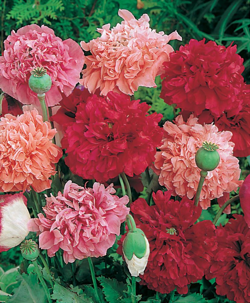 Poppy Paeony Flowered Mixed 178 Canada Discount