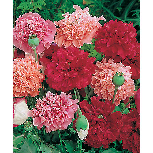 Pavot paeony flowered mixed