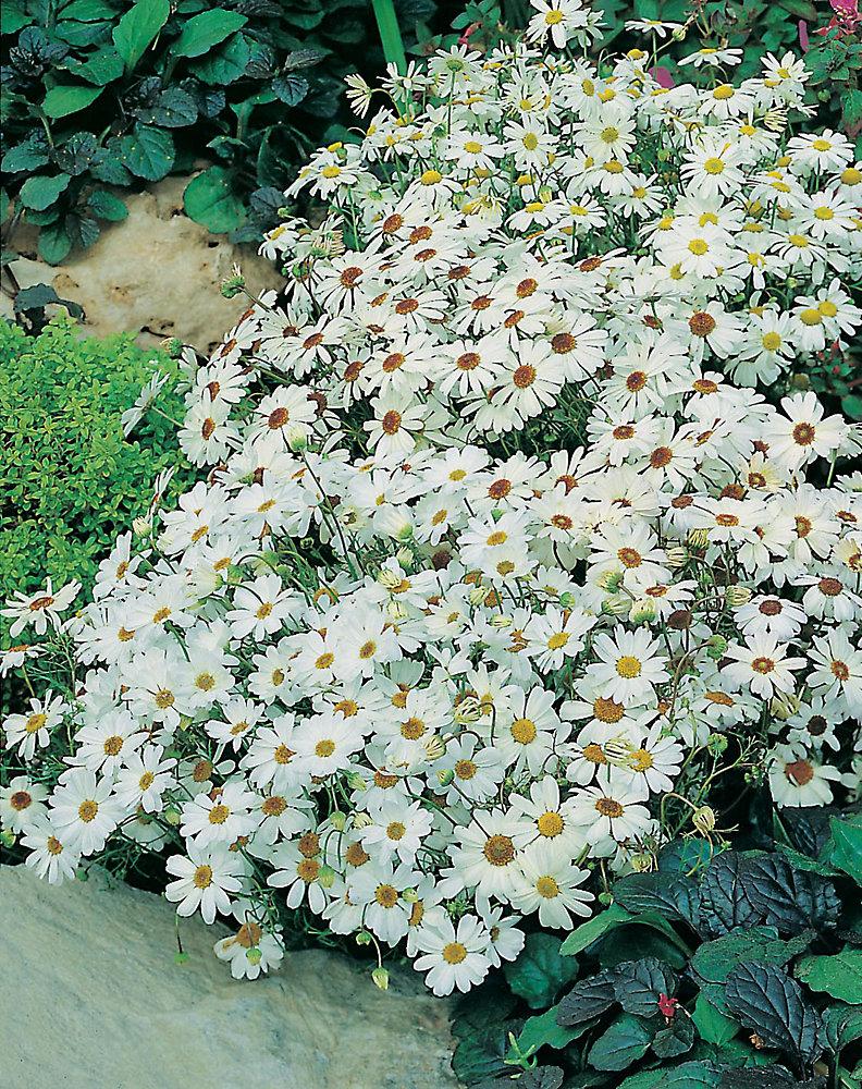 Swan River Daisy White Splendor Seeds