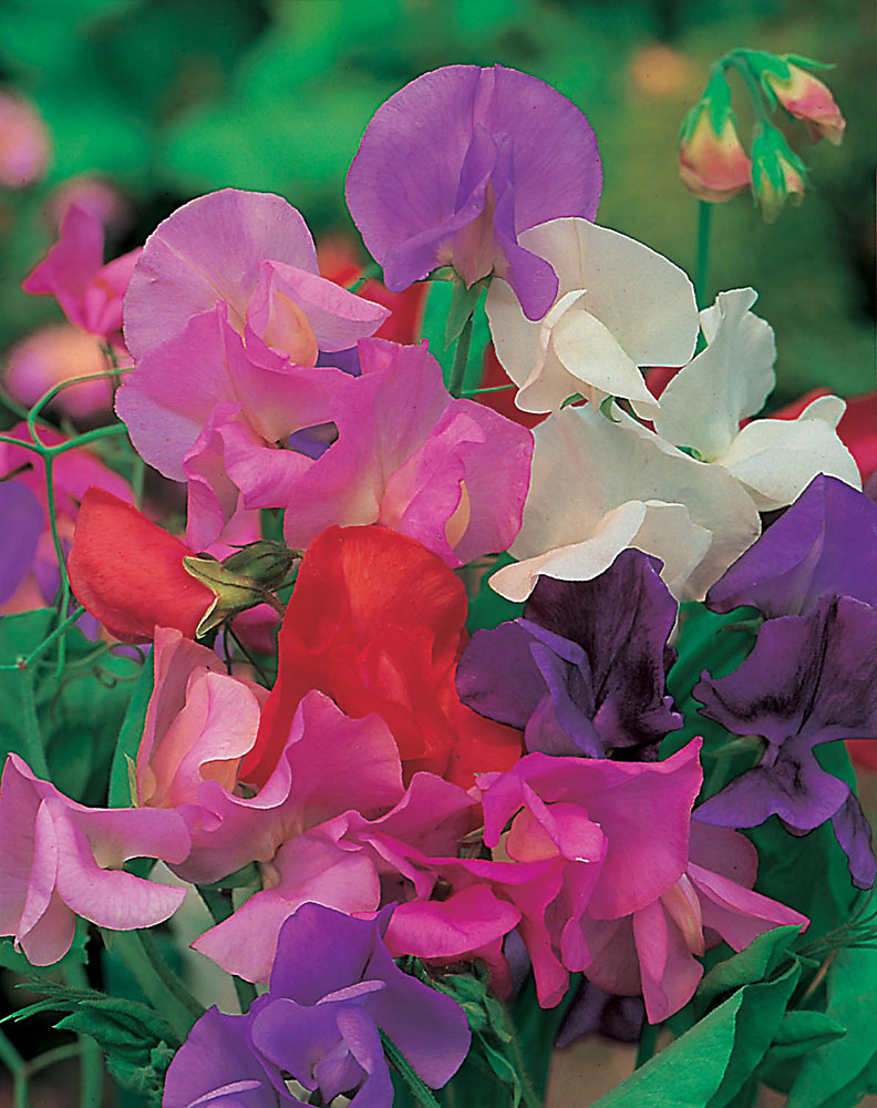 Sweet Pea Spencer Mixed Seeds