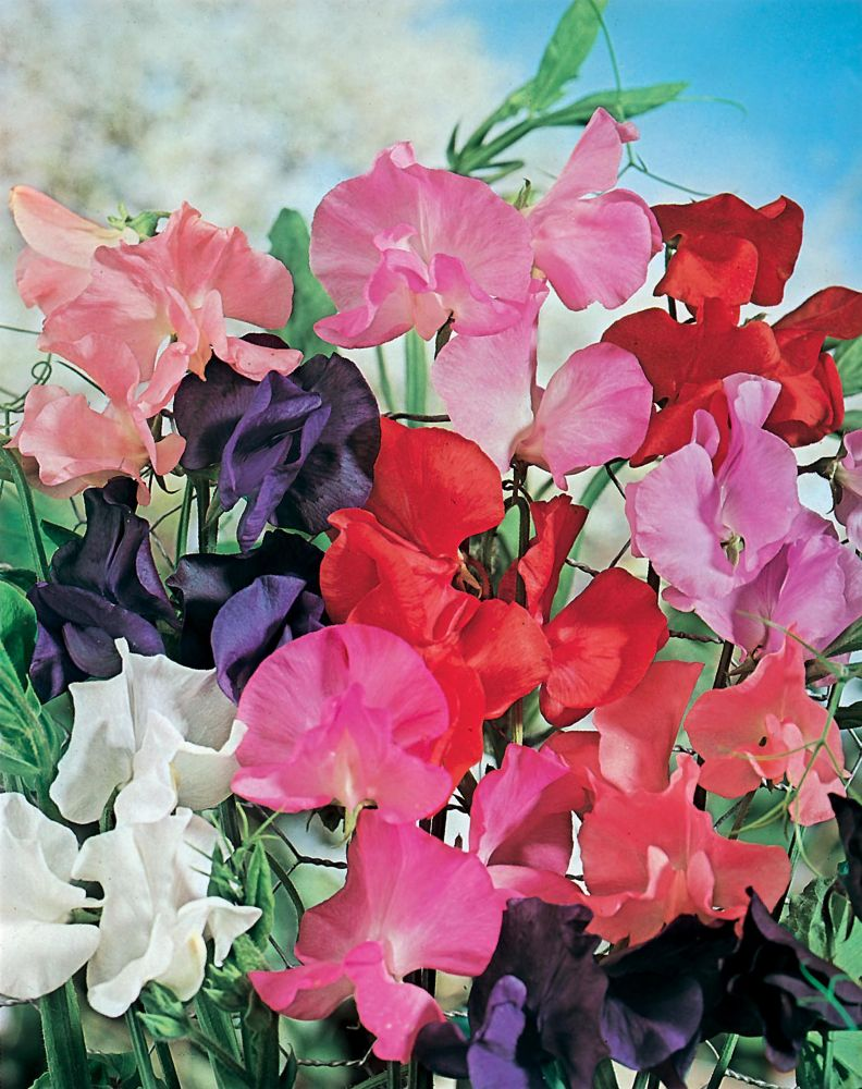 Sweet Pea Tall Mixed