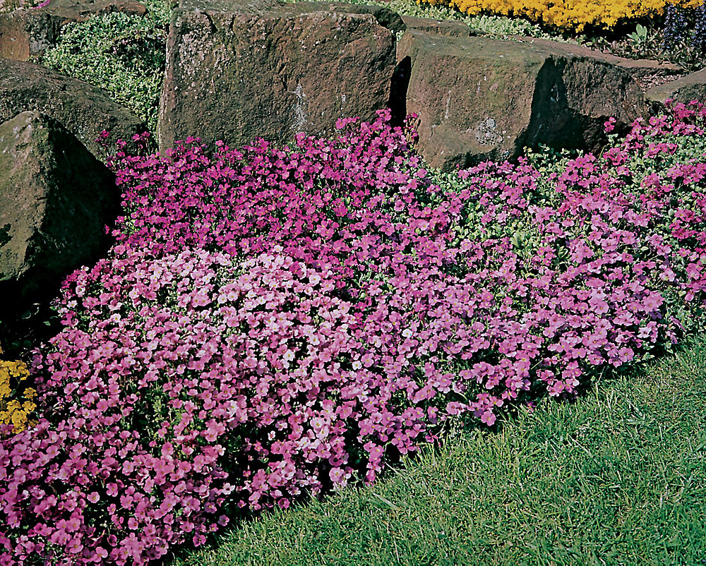 Aubretia Large Flowered Mixture Seeds