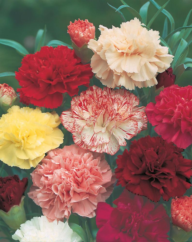 Carnation Choice Double Mixed 139 in Canada
