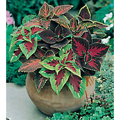 Coleus Camelot Mix Seeds
