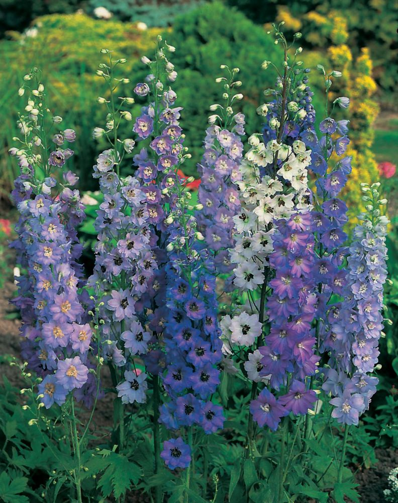 Delphinium Pacific Giants 20 Canada Discount