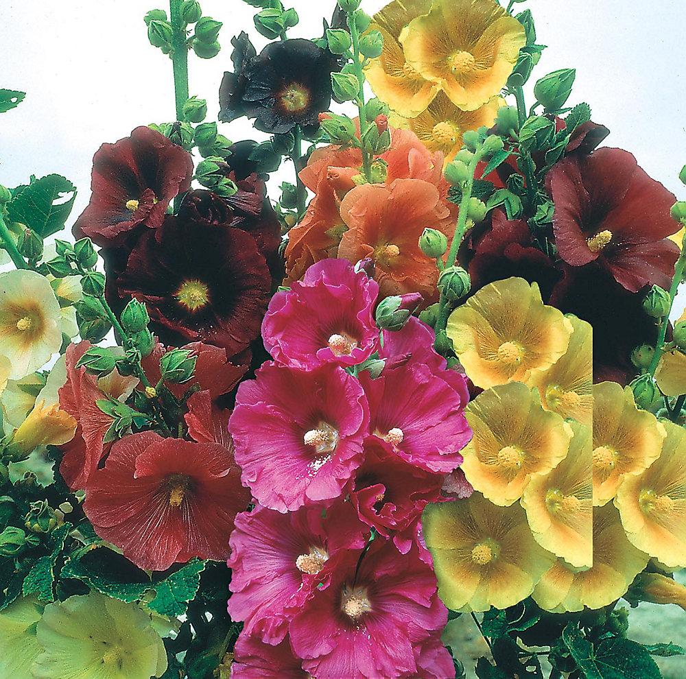 Hollyhock Giant Single Mixed Seeds