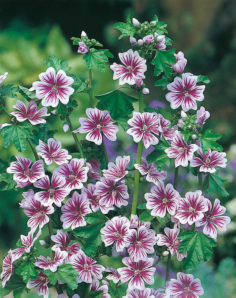 Malva Zebrina Seeds