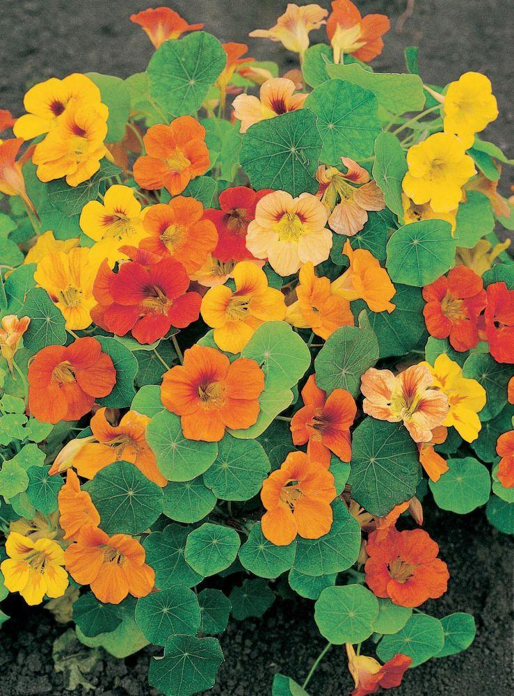 Nasturtium Whirlybird Mixed 866 Canada Discount