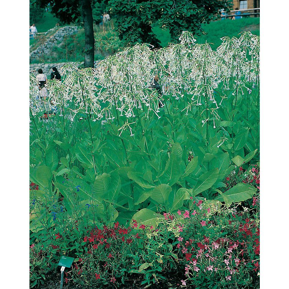 Mr. Fothergill's Seeds Nicotiana Sylvestris Seeds