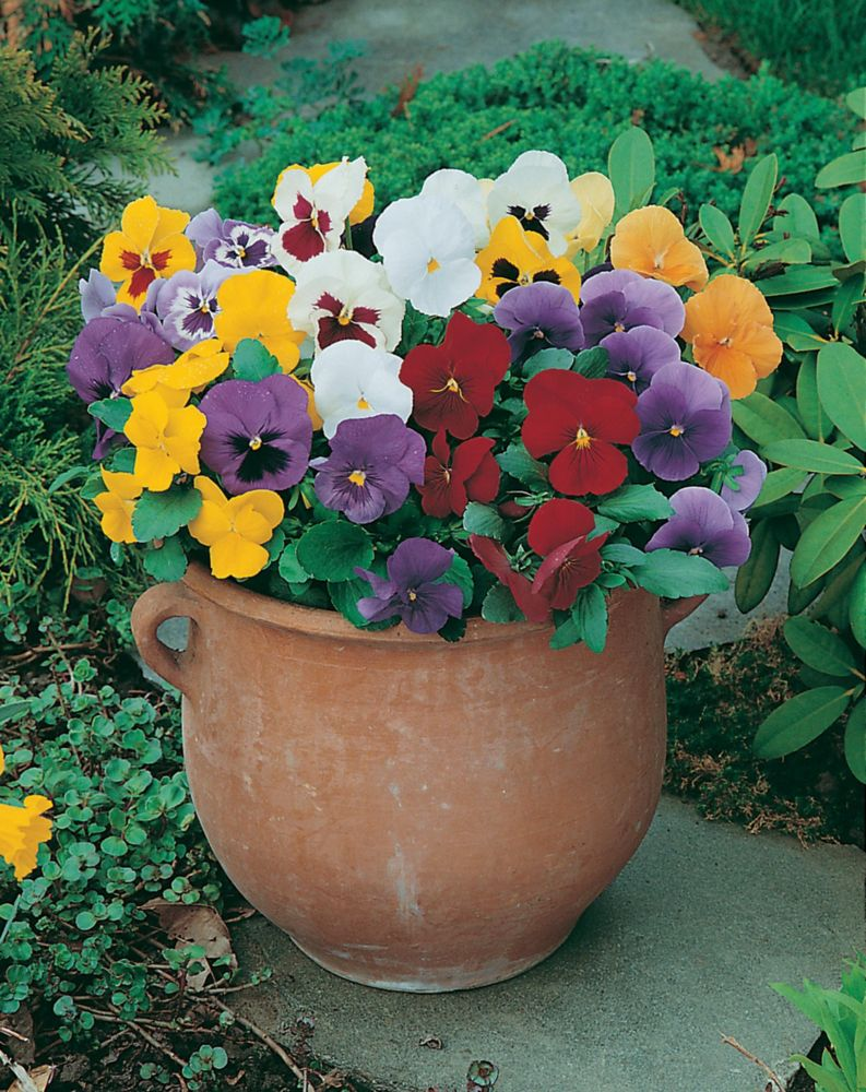 Pansy Early Flowering
