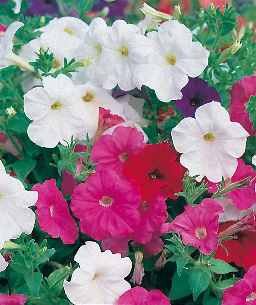 Petunia Balcony Choice Mixed Seeds